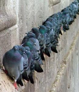 Piccioni in fila su una facciata