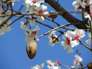 Mandorlo in fiore con frutto