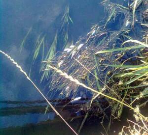 Un gruppo di pesci... 'diserbati' e pestificati