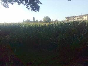 Campi di mais nei pressi dell'inceneritore di via Tobagi